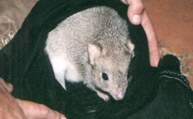 Bettong in bag