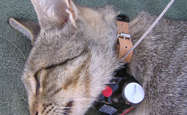 Feral Cat with Collar