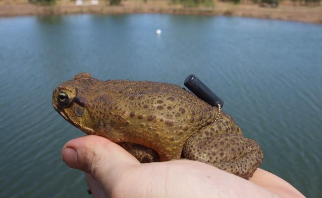Toad with tracking device