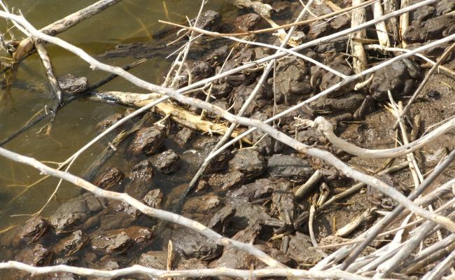 Toads on a bank