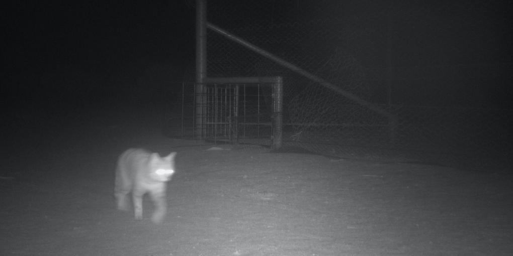 A feral cat spotted in a camera trap at Wild Deserts.