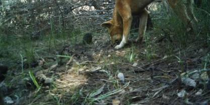 Dingo in wild on camera