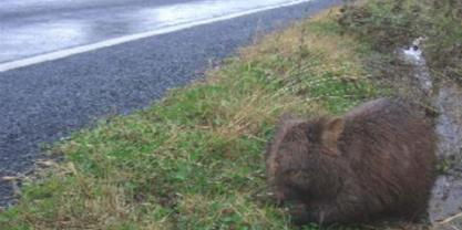 Wombat on roadside