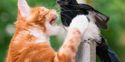 Feral cat vs native bird